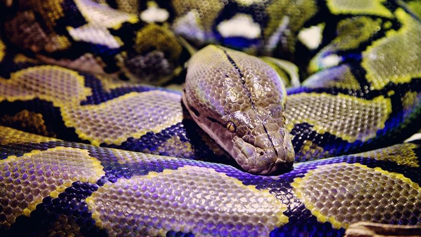 Pesadilla: se despertó y encontró una serpiente en su cuarto