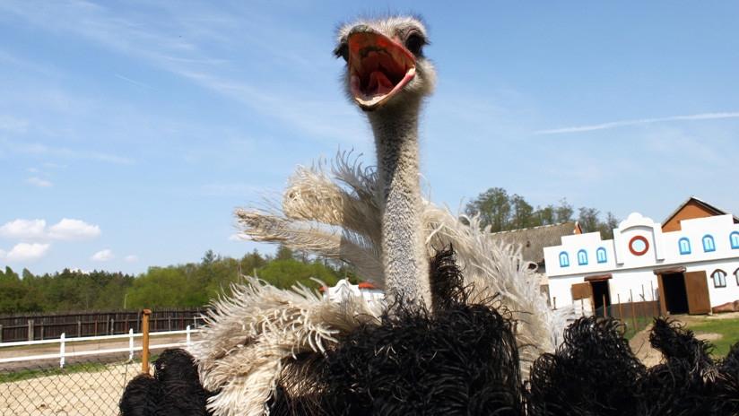Un avestruz en celo pateó brutalmente a su cuidador — Imágenes impactantes
