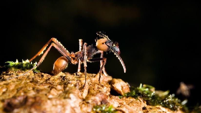 Viral: hordas de hormigas forman un 'puente colgante' para atacar avispas