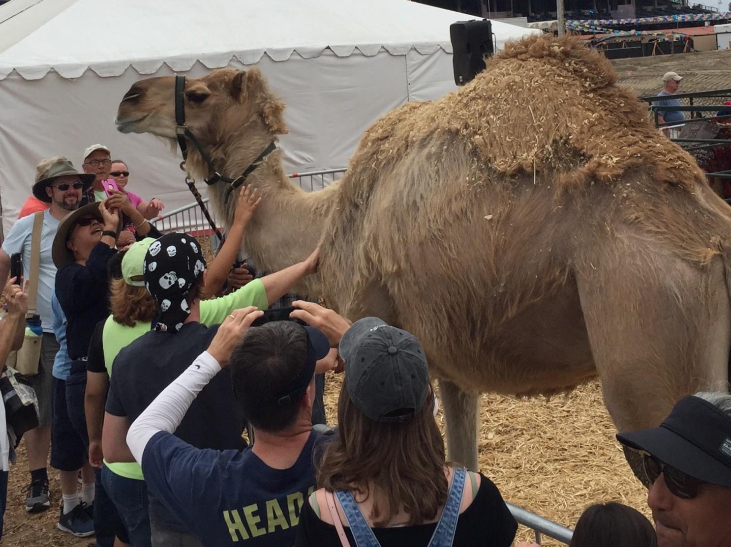 Matarán a 10.000 camellos en Australia debido a que consumen mucha agua