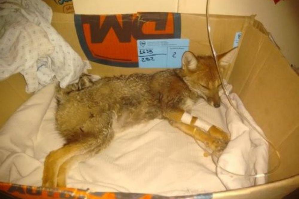 Una zorrita fue atropellada y piden ayuda para su recuperación