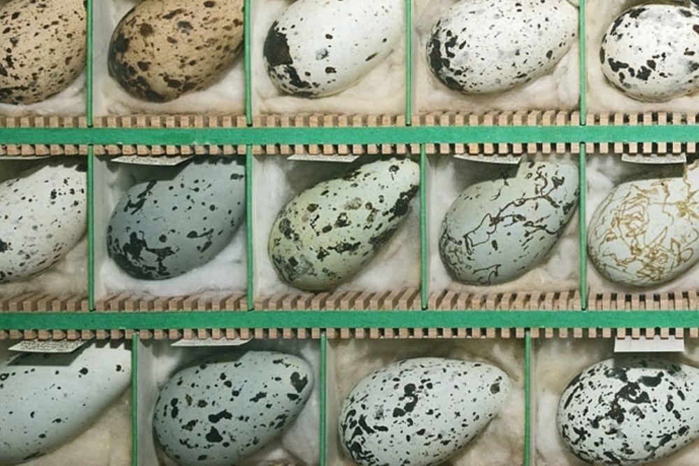 Científicos resuelven el misterio de por qué los huevos tienen esa forma